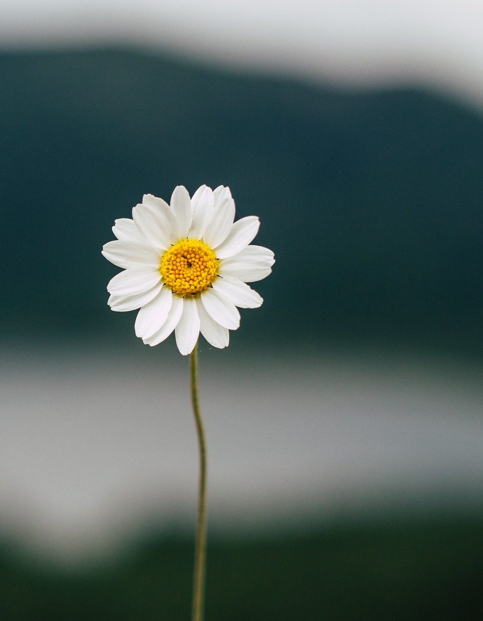 Single daisy focused in on in the picture with an unfocused background that looks like mountains.